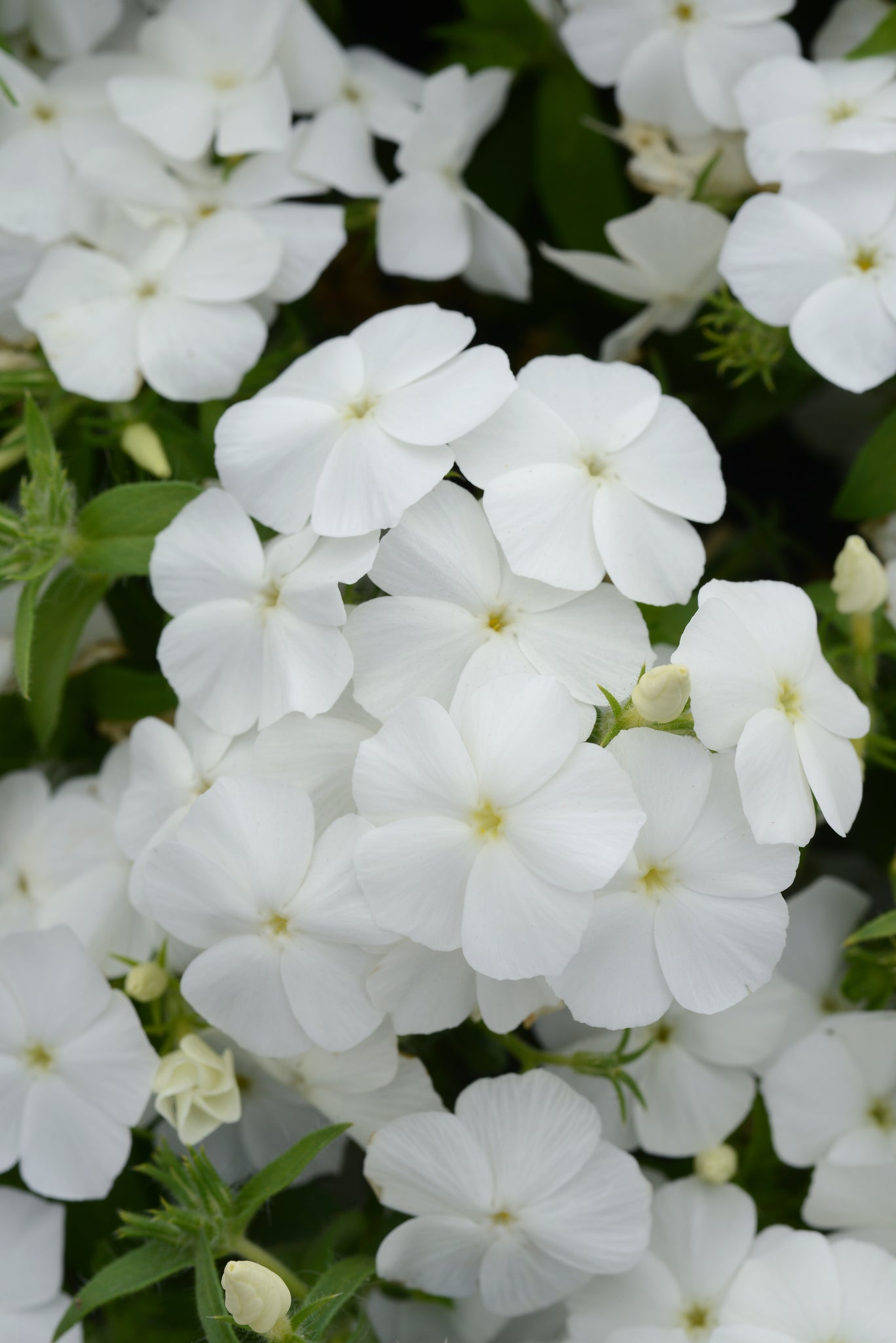 Phlox White - IN STORE PICK-UP ONLY