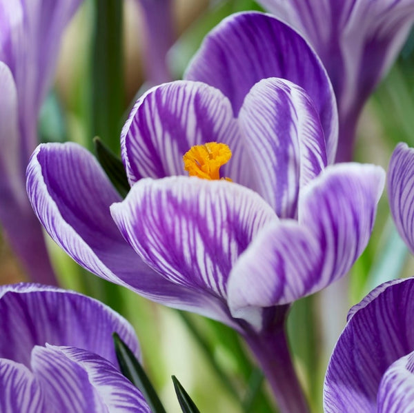 Pickwick Crocus - 20pack