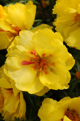 Portulaca Yellow - IN STORE PICK-UP ONLY