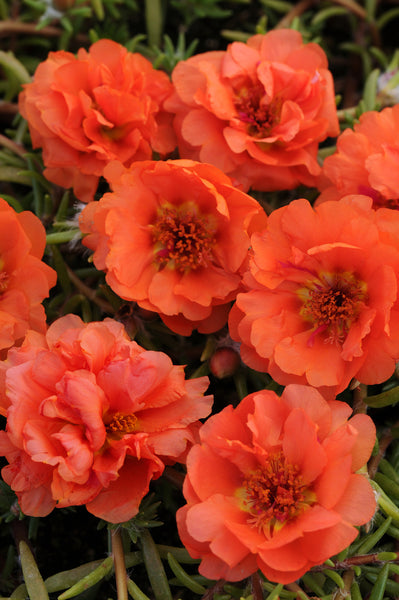 Portulaca Orange - IN STORE PICK-UP ONLY
