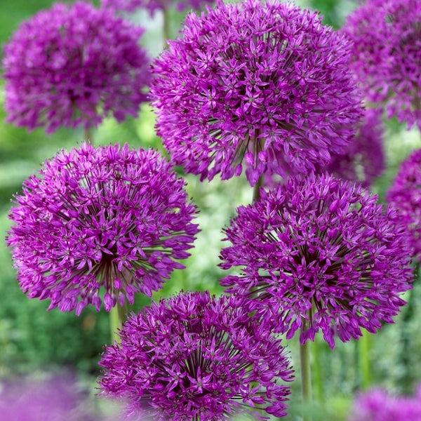 Purple Sensation Allium - 5pack