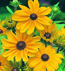 Rudbeckia Indian Summer - IN STORE PICK-UP ONLY