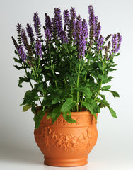 Salvia Purple - IN STORE PICK-UP ONLY
