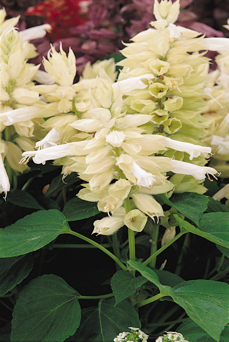 Salvia White 9 pack- IN STORE PICK-UP ONLY