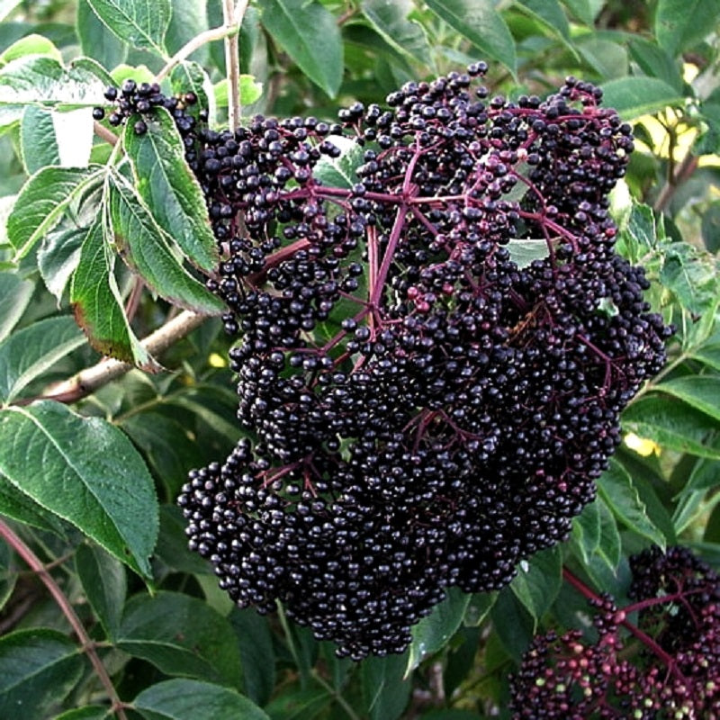 Scotia Elderberry