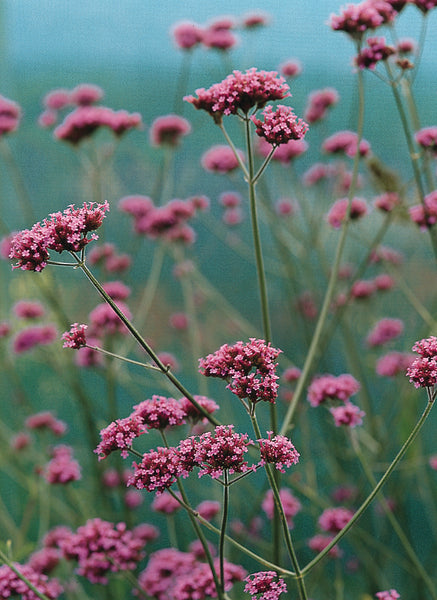 Verbena Bonariensis - IN STORE PICK-UP ONLY