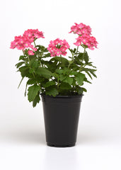 Verbena Pink - IN STORE PICK-UP ONLY