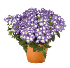 Verbena Blue 9 pack- IN STORE PICK-UP ONLY