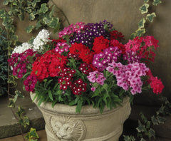 Verbena Mixed - IN STORE PICK-UP ONLY
