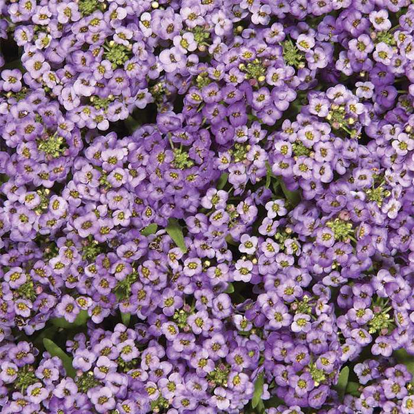 Alyssum Blue - IN STORE PICK-UP ONLY