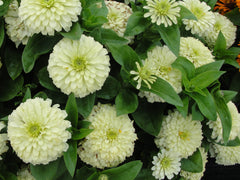 Zinnia Magellan Ivory 9 pack- IN STORE PICK-UP ONLY