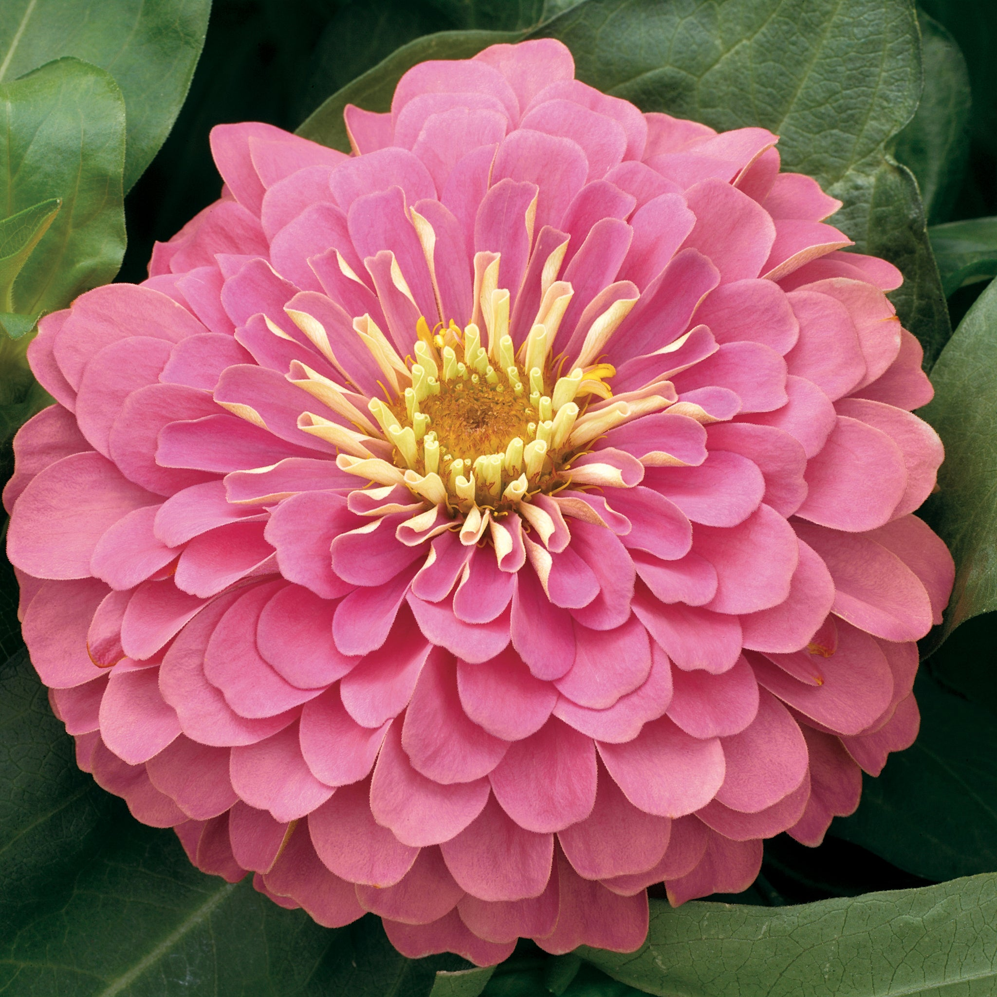 Zinnia Magellan Pink - IN STORE PICK-UP ONLY
