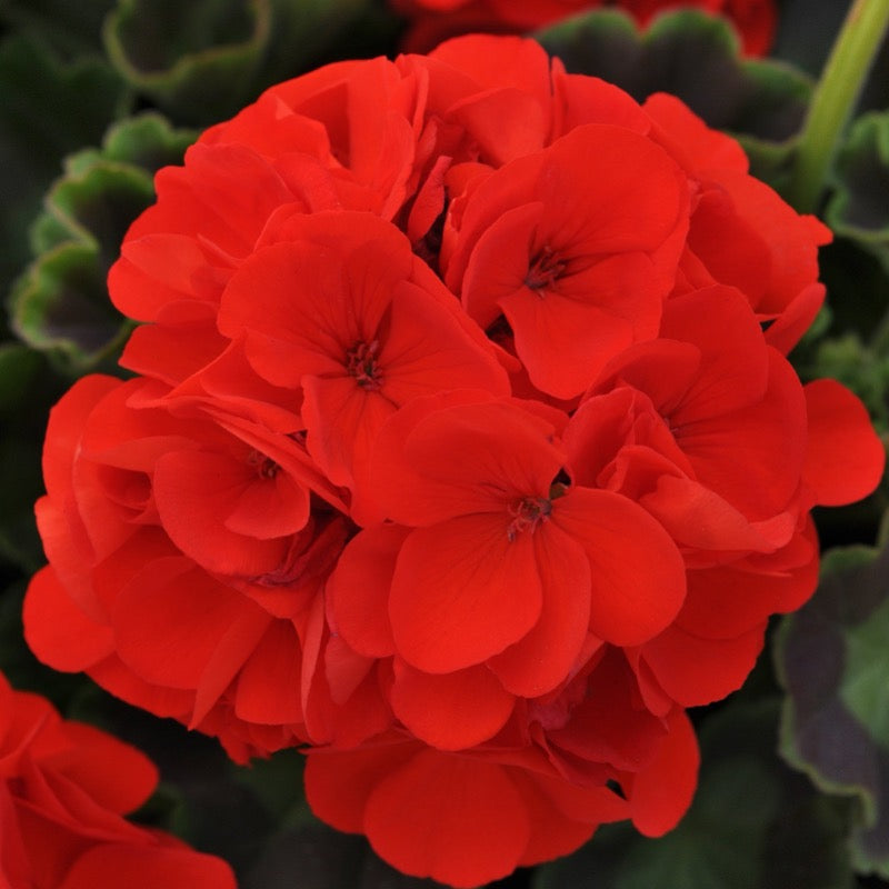 Geranium Zonal Orange - IN STORE PICK-UP ONLY