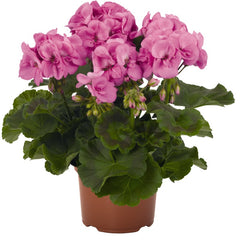 Geranium Zonal Hot Pink - IN STORE PICK-UP ONLY