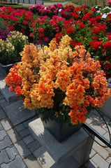 Snapdragon Orange - IN STORE PICK-UP ONLY