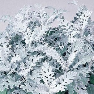 Dusty Miller Silver Dust - IN STORE PICK-UP ONLY