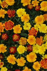 Marigold Boy Mix - IN STORE PICK-UP ONLY