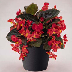 Red Begonia - IN STORE PICK-UP ONLY