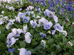 Pansy Blue - IN STORE PICK-UP ONLY