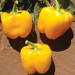 Pepper Golden Bell 9 pack- IN STORE PICK-UP ONLY