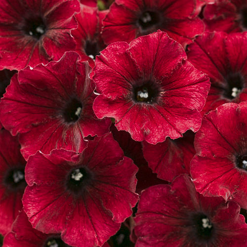 Petunia Supertunia Black Cherry - IN STORE PICK-UP ONLY