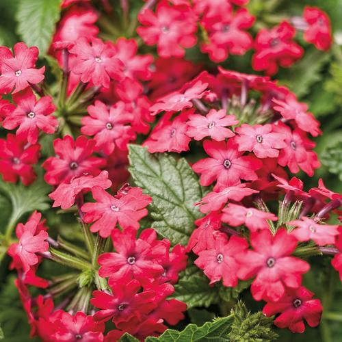 "Verbena Superbena Royale Iced Cherry 4.5"" pot - IN STORE PICK-UP ONLY"