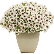 Petunia Supertunia Latte - IN STORE PICK-UP ONLY