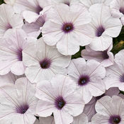 Petunia Supertunia Mini Silver - IN STORE PICK-UP ONLY