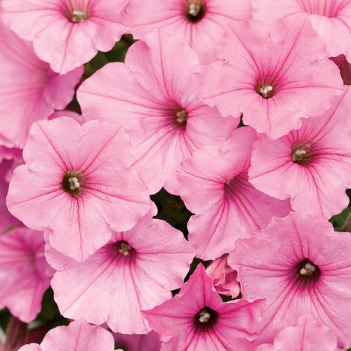 Petunia Supertunia Vista Bubblegum - IN STORE PICK-UP ONLY