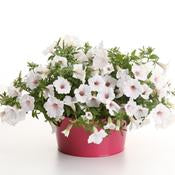 Petunia Supertunia Vista Silverberry - IN STORE PICK-UP ONLY