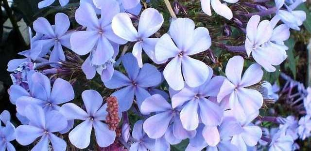 Phlox Blue - IN STORE PICK-UP ONLY