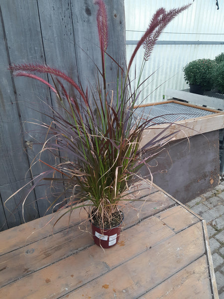 Annual Purple Fountain Grass