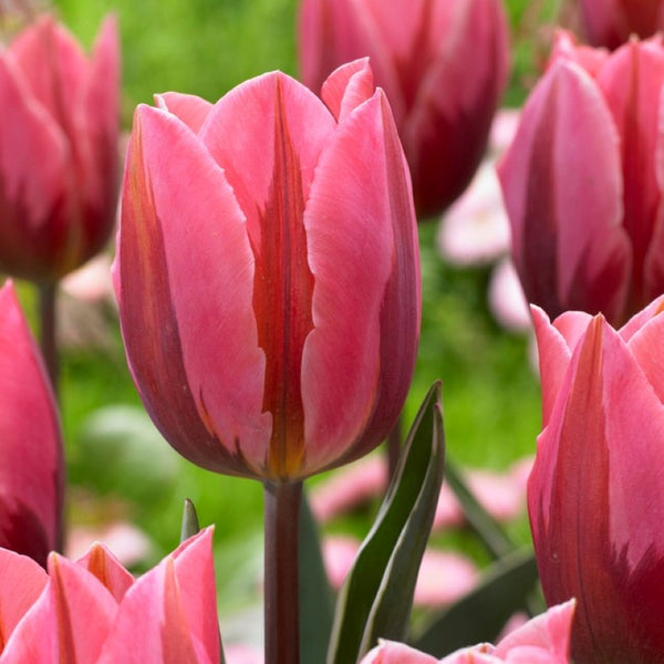 Pretty Princess Tulip - 10 pack