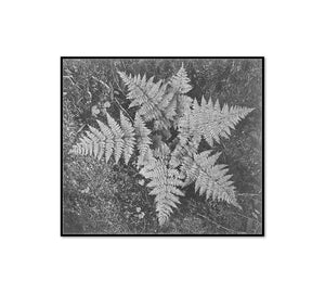 Ferns In Glacier National Park by Ansel Adams Artblock