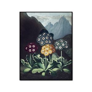 A Group of Auriculas II by Robert John Thornton Artblock
