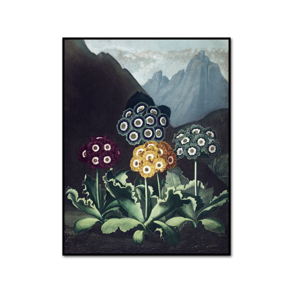 Robert John Thornton / A Group of Auriculas II, Artblock
