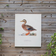 Duck Canvas