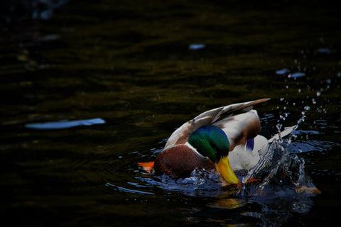 Mallard Duck splashing in a pond