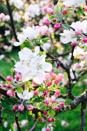 Crab Apple Bach Flower Remedy