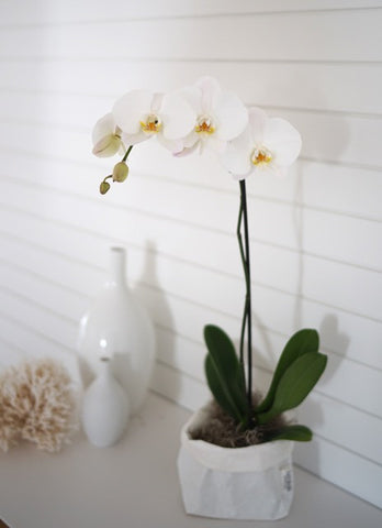 Phalenopsis Orchid Single Stem in pot or bag