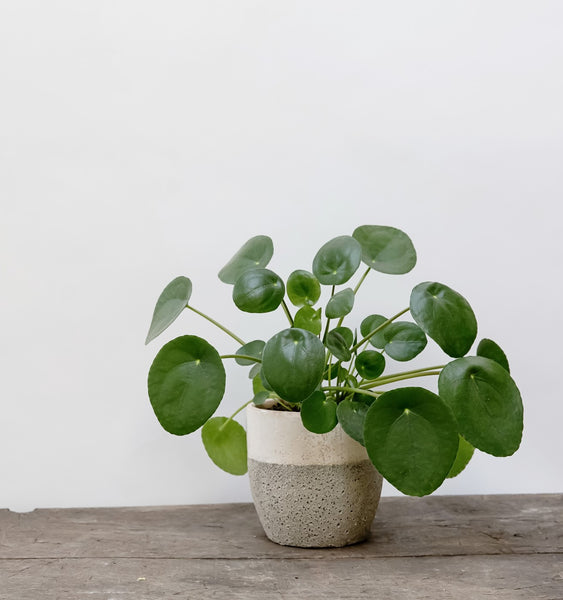 Pilea/Chinese Money Plant - Plant of the Month
