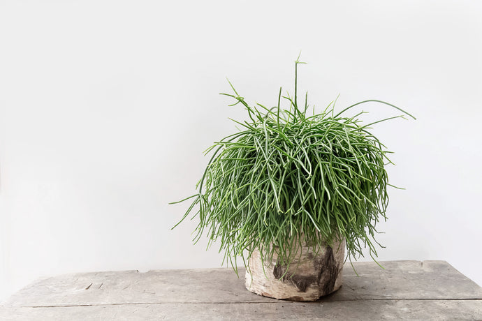 Rhipsalis - Plant of the Month