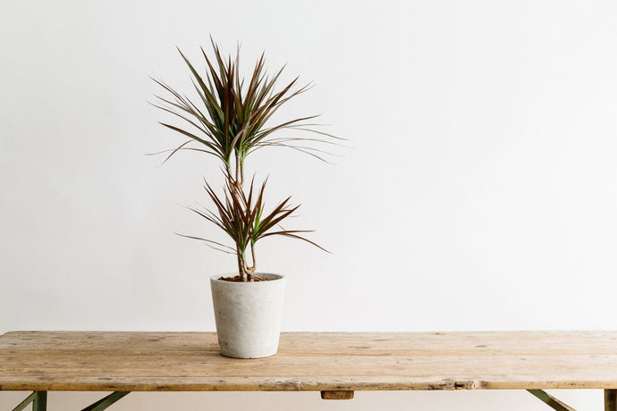 Dracena - Plant of the Month