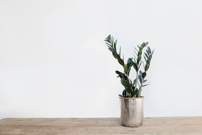 Zamioculcas Zamiifolia - Plant of the Month