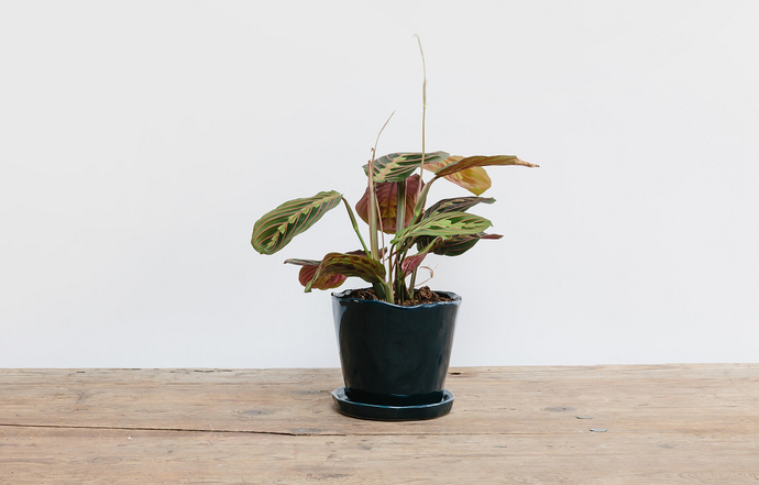 Maranta - Plant of the Month