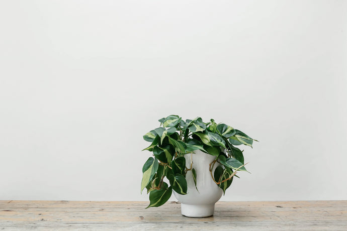 Philodendron Scandens - Plant of the Month