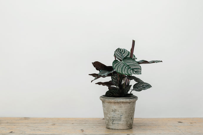 Calathea Ornata - Plant of the Month