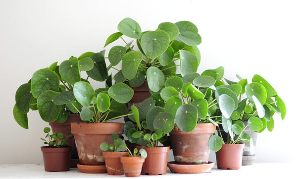 Chinese Money Plant - Plant of the Month – Forest Ldn