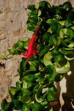 Load image into Gallery viewer, Aeschynanthus Radicans