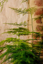 "Load image into Gallery viewer, Asparagus ""Setaceus"" Fern"